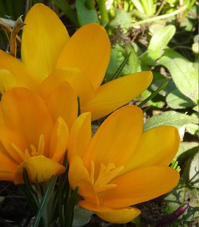 Yellow crocus in spring