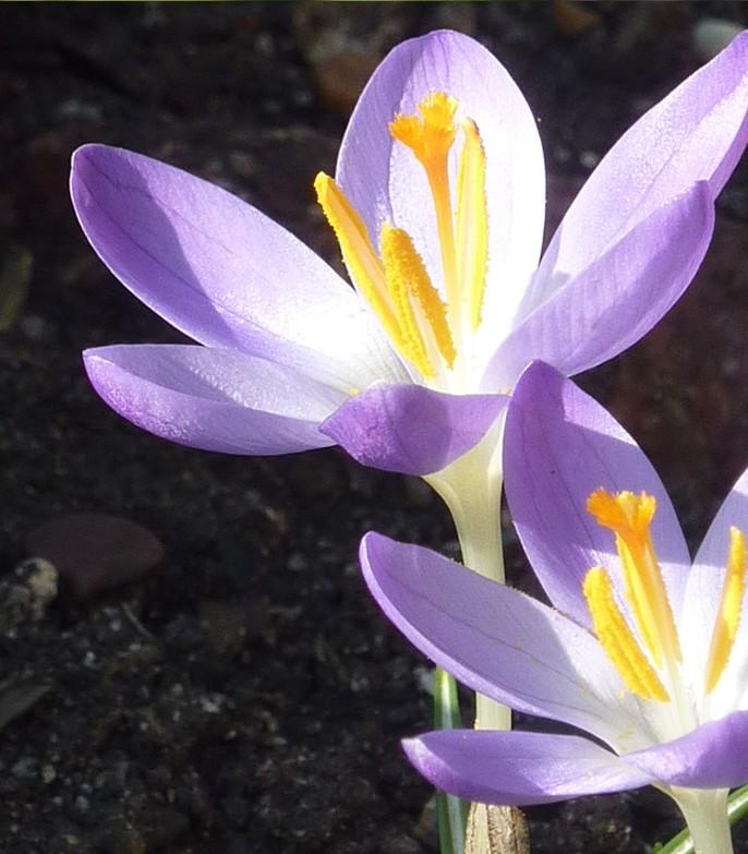 Purple spring flowers