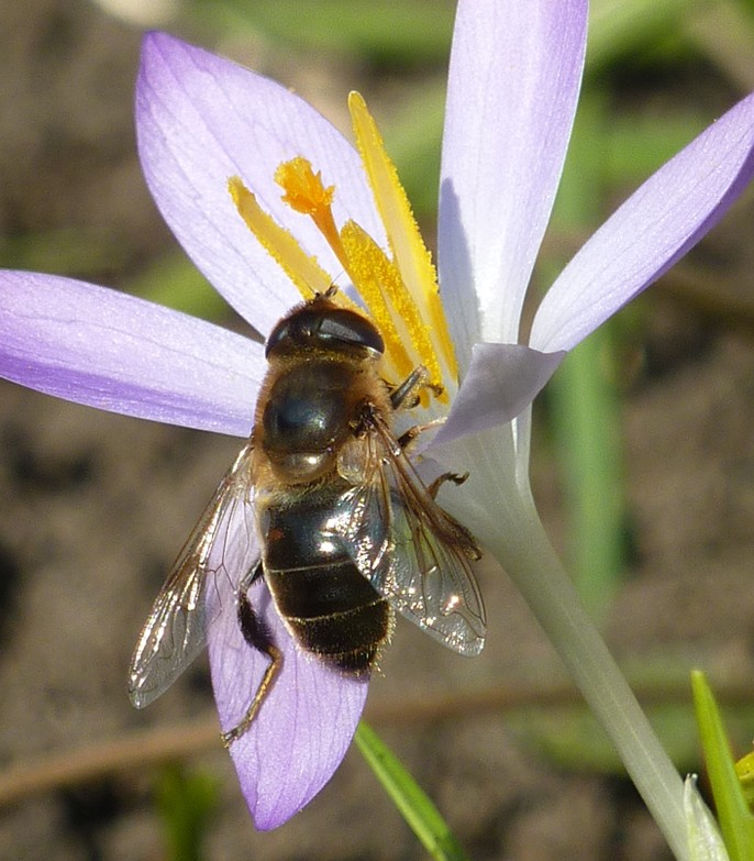 A bee taking pollen from a crocus